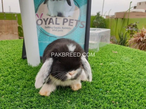holland-lop-male-big-1