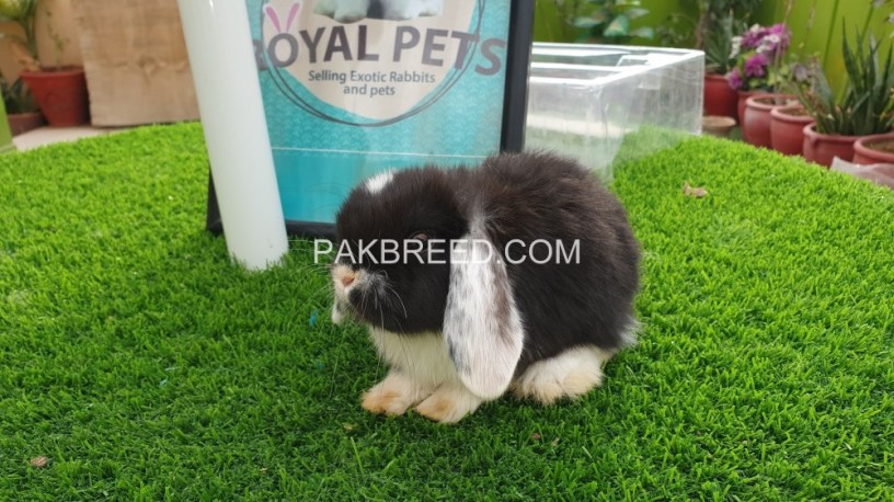 holland-lop-male-big-3