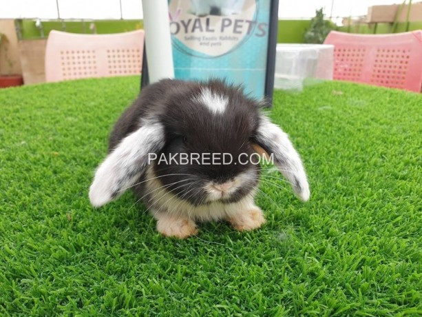 holland-lop-male-big-0