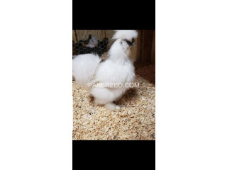 Silkie orginal chicks