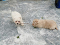 puppies-looking-for-a-loving-family-small-0