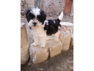 Maltees male puppy for sale