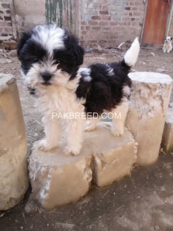 maltees-male-puppy-for-sale-big-1
