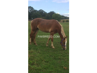 @@Sweet Prospect Horse for sale@@