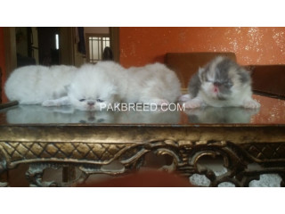 Peke face kittens available