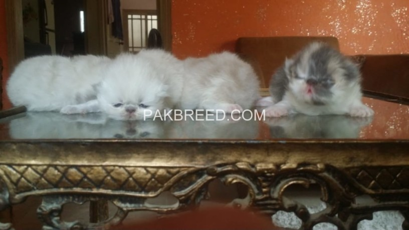 peke-face-kittens-available-big-0