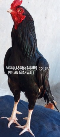 pure-aseel-for-sale-big-0
