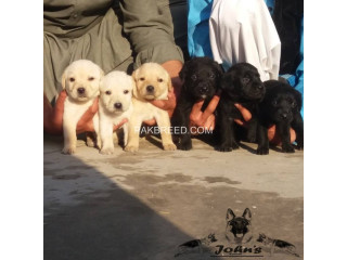 Labrador retriever pups for sale