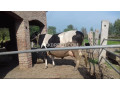 friesien-cow-for-sale-small-0