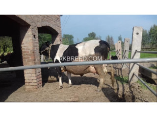 Friesien cow for sale
