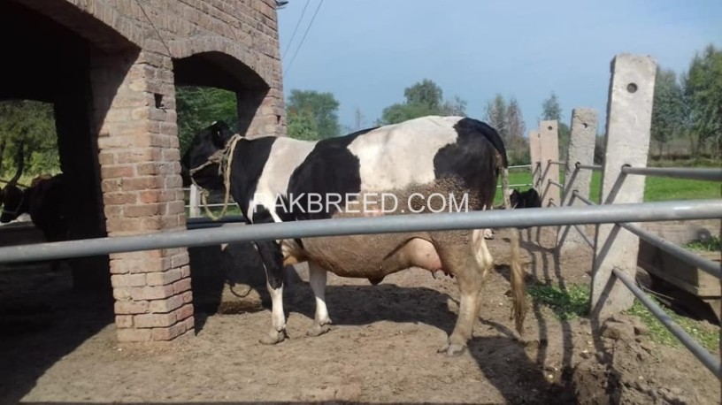 friesien-cow-for-sale-big-0