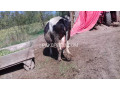 friesien-cow-for-sale-small-4
