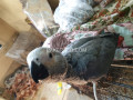 grey-parrot-small-1