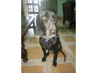 German Pointer female 1.5 years old