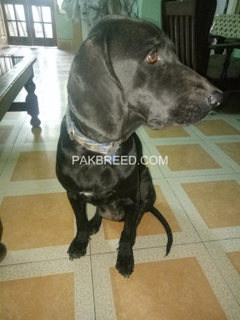 german-pointer-female-15-years-old-big-1