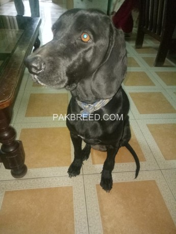 german-pointer-female-15-years-old-big-2