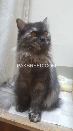 persian-cat-big-0