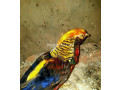 tedgolden-pheasant-for-sale-small-3
