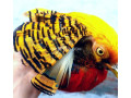 tedgolden-pheasant-for-sale-small-2