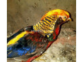 tedgolden-pheasant-for-sale-small-0
