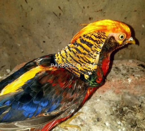 tedgolden-pheasant-for-sale-big-0