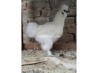 White silky for sale