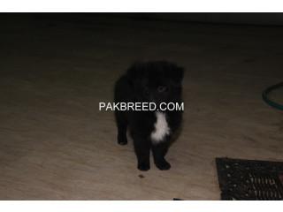 Poeranian 2 months puppy
