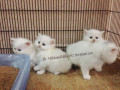 persian-home-breed-kittens-small-2