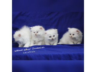 Persian home breed kittens