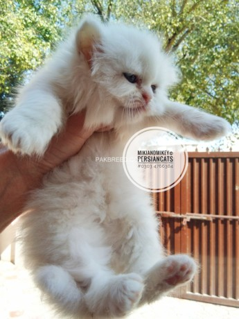 persian-home-breed-kittens-big-3
