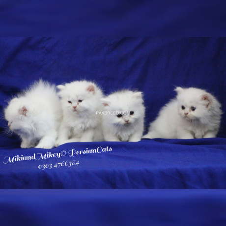 persian-home-breed-kittens-big-1