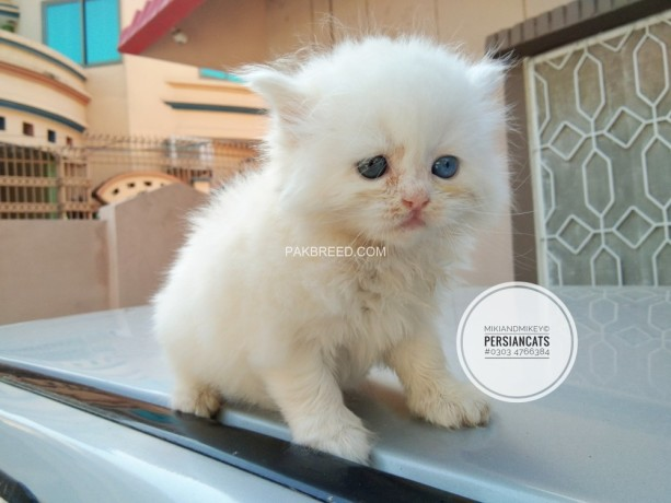 persian-home-breed-kittens-big-4