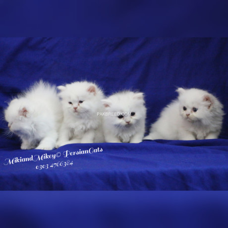 persian-home-breed-kittens-big-0