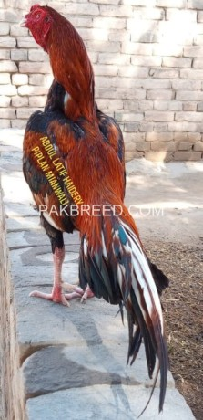 pure-aseel-lakha-for-sale-big-0