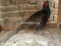pheasant-for-sale-small-1
