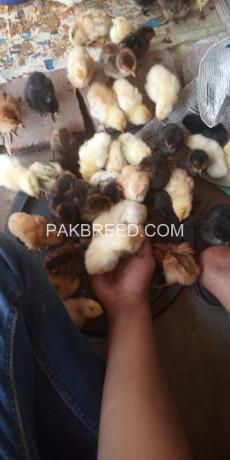 dasi-hen-chick-big-6