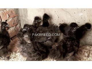 Black silkie for sale