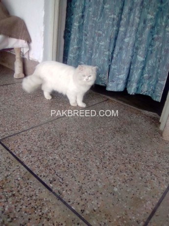persian-cat-femail-blue-eyes-big-2