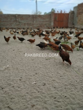 Desi/Misri Choozay For Sale, Lahore
