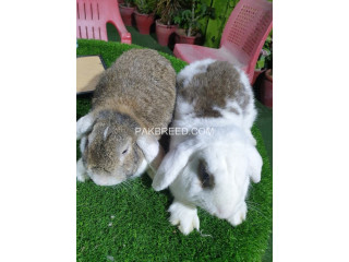 Holland lop bunnies available