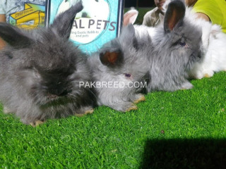English angora bunnies in blue