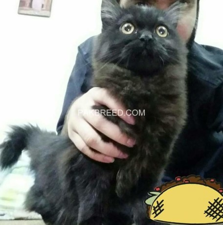 persian-cats-big-2