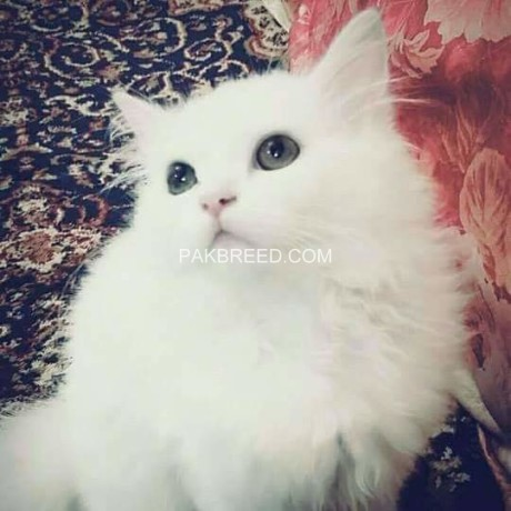 persian-cats-big-1
