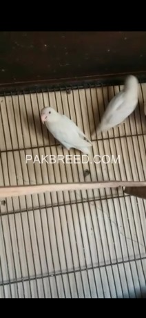 one-pair-albino-red-eye-breeder-pair-ready-to-2nd-breed-big-0