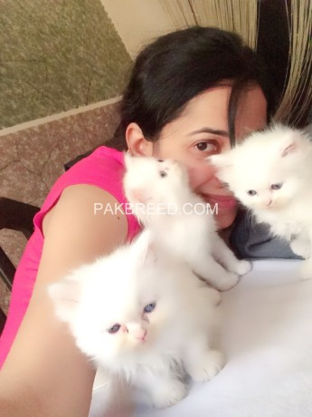 persian-white-color-odd-eyes-kittens-for-sale-big-4