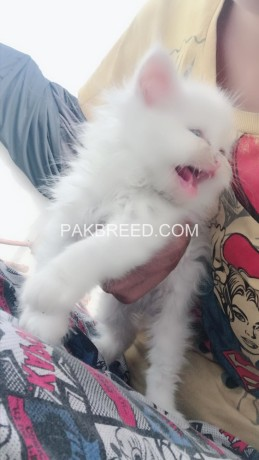 Persian white color odd eyes kittens for sale, Lahore