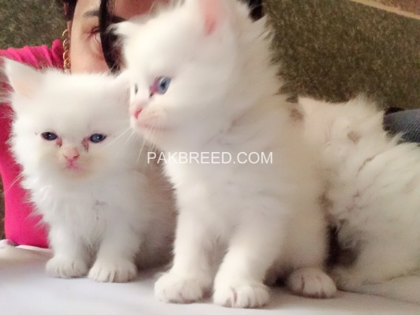 persian-white-color-odd-eyes-kittens-for-sale-big-3