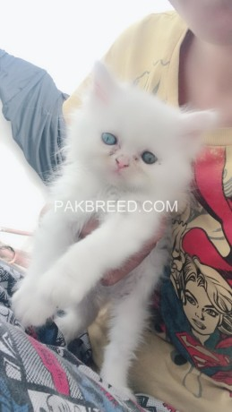 persian-white-color-odd-eyes-kittens-for-sale-big-1