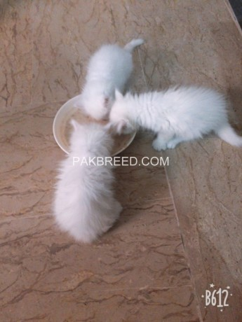 persian-white-color-odd-eyes-kittens-for-sale-big-2