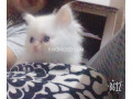 persian-kittens-for-sale-small-2